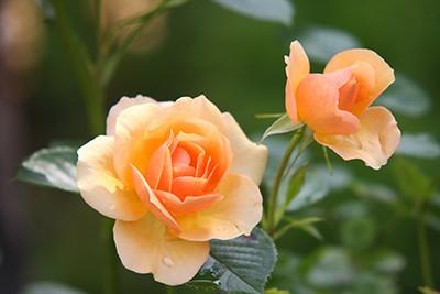 rose-616013_pixabay